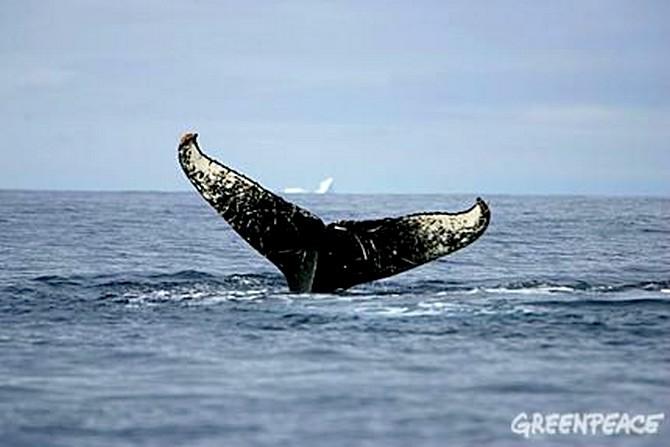 Greenpeace - Baleine en Norvege