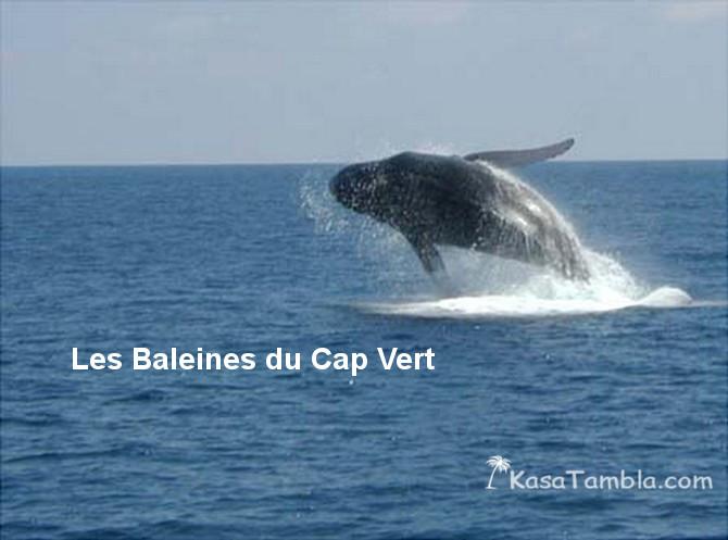 Des baleines passent l'hiver au Cap Vert : Avec video