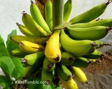 Santo Antão - Bananes du jardin tropical