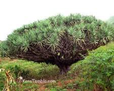Santo Antão - Botanique Endemique - Le dragonnier