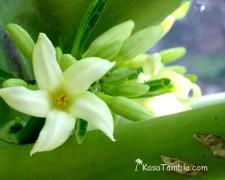 Santo Antão - Botanique - Fleur de papaye
