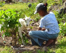Santo Antão - On élève des chèvres